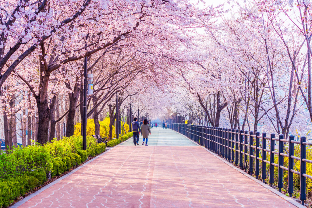 Cherry blossoms bloom down the iconic walking path in Seoul, South Korea