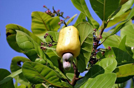 Kaju Fruit