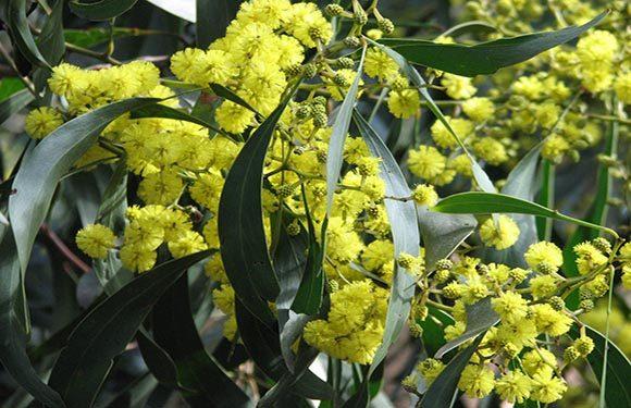Acacia Anagadensis